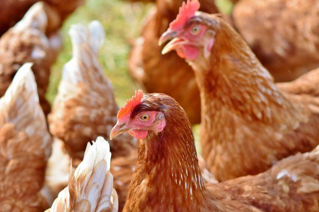 Gallinas-ponedoras-630x420 La gallina canaria aspira a ser nueva raza autóctona